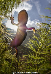 sunshine in my pond ... oh, and, yes, a newt... :D alpin... by Claudia Weber-Gebert