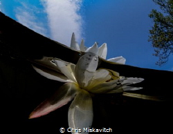 Water flower early morning by Chris Miskavitch