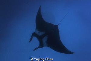 Into the Blue/Giant Manta/ Socorro, Mexico/Canon 5D MarkI... by Yuping Chen