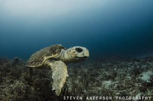 Diving off Jupiter Florida offers a wide variety of marin... by Steven Anderson