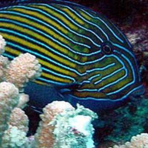 Blue-banded surgeonfish by Martin Dalsaso