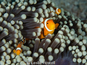 Family of clownfish in the Banda Sea. by Leslie Howell