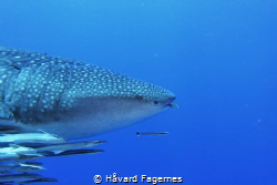 4 meter whaleshark at shark bank mahe island by Håvard Fagernes