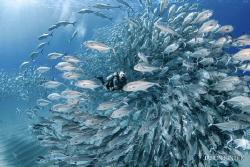 Encircled/ a diver navigates through a school of big eye ... by Jason Sintek