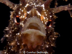 Hippocampus guttulatus Speckled Seahorse was astonished ... by Cumhur Gedikoglu
