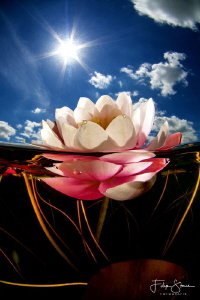 Waterlily, Turnhout, Belgium. by Filip Staes