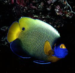 YELLOW MASK ANGEL Anothe in my 'Fish Portraits from Aroun... by Rick Tegeler