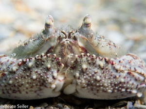 Boxcrab , taken at Blue Heron Bridge by Beate Seiler