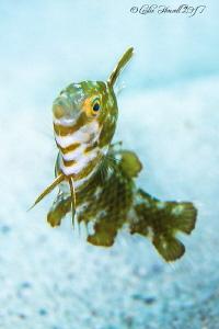 Juvenile Razorfish by Leslie Howell
