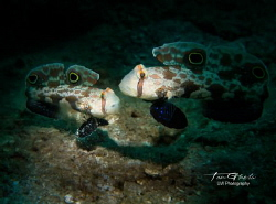 COUPLE... Crab Eye Goby - Signigobius biocellatus by Ton Ghela