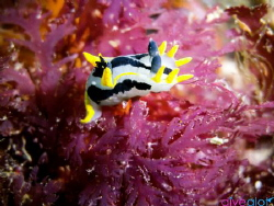 Crowned Nudibranch on Pink Seaweed by Matthew Botha