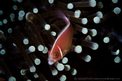 Y A W N  Pink skunk clownfish (Amphiprion perideraion) ... by Irwin Ang