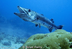 Great Barracuda being cleaned by Cleaning Gobi - Key Larg... by Brian Perry