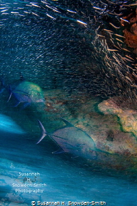 """""""Chase or Evade"""" Jacks chase silversides as they blur in... by Susannah H. Snowden-Smith"""