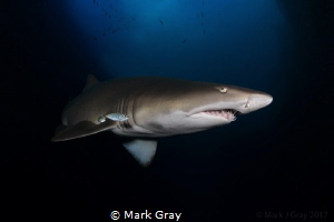 Grey Nurse Shark, Fish Rock, South West Rocks, Australia by Mark Gray