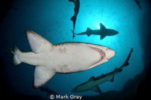 Grey Nurse sharks from below by Mark Gray