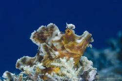 C A L L I N G Rhinopias Paddle-Flap (Eschmeyer's scorpio... by Irwin Ang