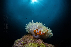 """Amphiprion ocellaris - """"Clownfish with Anemone Homes"""" by Wayne Jones"""