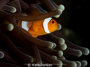 My home! Clownfish in its natural habitat. by Kate Jonker