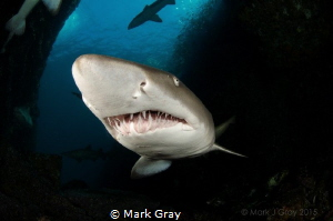 Grey nurse sharks inside the cave a Fish Rock by Mark Gray