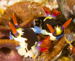 mating nudis by John Loving