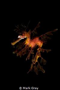 Leafy SeaDragon by Mark Gray