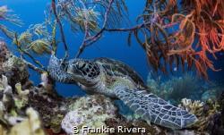 Resting Green Sea Turtle by Frankie Rivera
