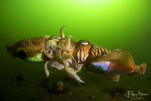 Mating cuttlefish, Zeeland, The Netherlands. by Filip Staes