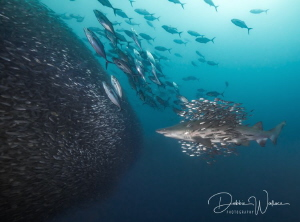 """""""Schools of schools"""" - this is a beautiful female sand ti... by Debbie Wallace"""