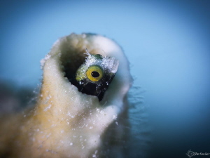 Roughhead Blenny in his home covered in fire coral by Patricia Sinclair