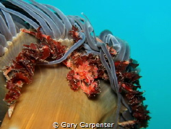 Crab (Inachus .sp) trying to hide under a Snakelocks an... by Gary Carpenter