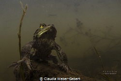 the prayer.........  male toad - freshwater by Claudia Weber-Gebert