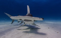 A beautiful Great Hammerhead Shark by Frankie Rivera