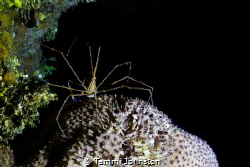 Arrow crab found on a night dive in Roatan Honduras shot ... by Tammi Johnston