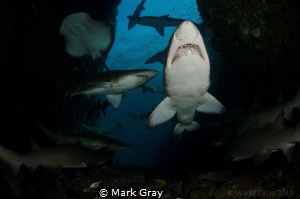 I think I counted 16 Grey Nurse shark and a Bull Ray in t... by Mark Gray
