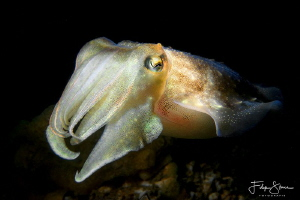 Juvenile cuttlefish, Zeeland, The Netherlands. by Filip Staes