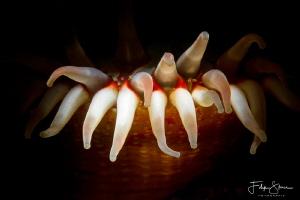 Dahlia anemone (Urticina felina), Zeeland, The Netherlands. by Filip Staes