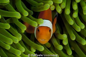 clownfish in green anemone by Raffaele Livornese