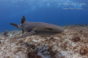 Nurse Shark in Cedral, Cozumel Mexico by Alejandro Topete