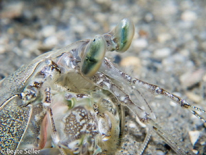 Manti Shrimp at Blue Heron Bridge by Beate Seiler