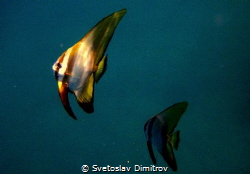 A couple of bat fishes at shallow water. by Svetoslav Dimitrov