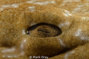 Wobbegong eye close up by Mark Gray
