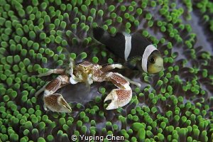 My Roommate//Lembeh strait,Indonesia, Canon 5D MarkIV, 10... by Yuping Chen
