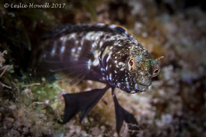 Sailfin Blenny guarding his territory. by Leslie Howell