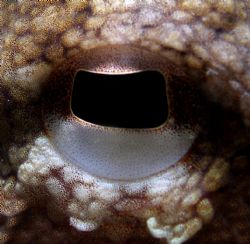 Close up of an Octopus eye. by Jo Watson