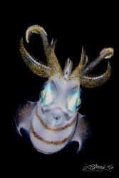 N I G H T S T A L K E R Squid  (Sepioteuthis lessoniana) by Lilian Koh
