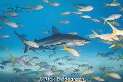 Reef sharks at Tiger Beach, Bahamas by Rick Beldegreen