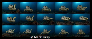 Loggerhead Turtle  Sequence 15 shots into 1 by Mark Gray