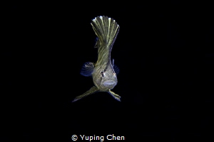 Larval Spadefish/Lembeh, Indonesia/Canon 5D Mark IV, Cano... by Yuping Chen