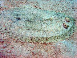 Flounder taken at Mantabuan Island, East Malaysia by Dennis Siau